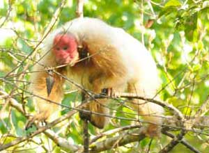 Red-faced Uakari monkey