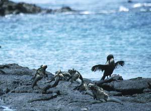 Flightless cormorants, Galapagos