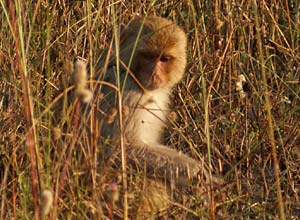 Monkey in Bandhavgarh