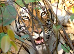 Tiger face, Kanha