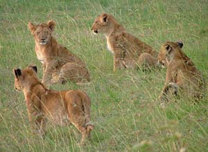 Lion cubs in Masai Mara