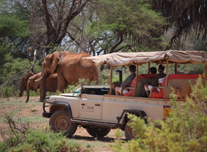 Game drive from Saruni Samburu