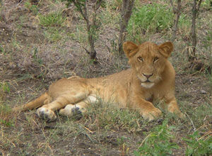 Selous lion