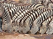 Zebra drinking at waterhole