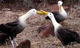 Waved Albatross courtship