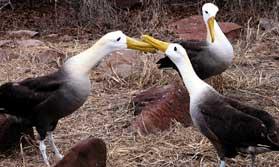 Waved Albatross courtship