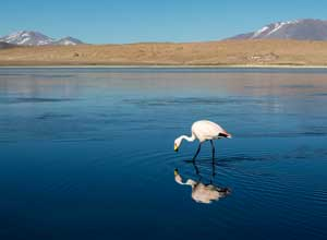 Flamingo in lake at Sajama