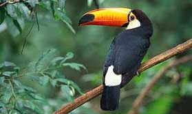 Toucan seen on Rio and wildlife of Brazil tour