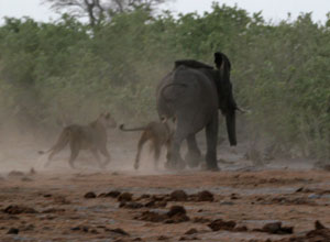 Elephant pursued by lion