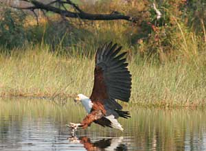 Fish eagle, Botswana