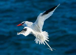 Red billed tropic bird in the Galapagos