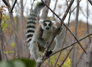 Ring-tailed lemur in Anja Park