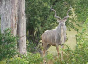 Kudu in South Luangwa