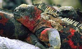 Marine iguana, Galapagos Holidays