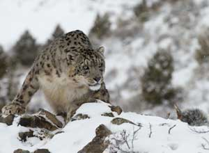 Snow leopard high on the rocks