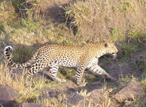 Leopard seen on a game drive