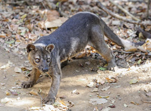 See a fossa in Kirindy Forest Reserve
