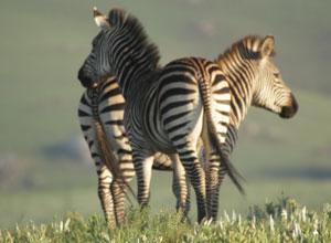 Zebras on the Nyika Plateau