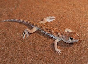 Gecko on the dune at Sossusvlei