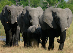 Elephants in Savuti
