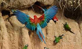 Macaws in Peru rainforest
