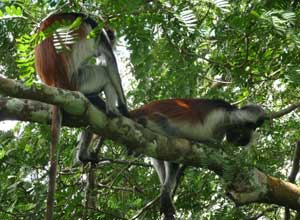 Red colobus monkeys in Jozani Forest