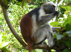 Red colobus monkey in Jozani Forest