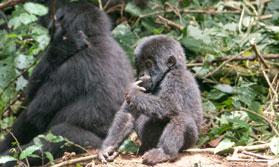Fly In Gorilla Safari