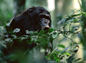 Chance to trek to see chimps in Kibale