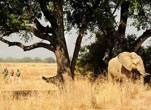 Walking safari - elephant