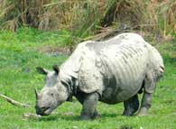 One horned rhino in Kaziranga National Park